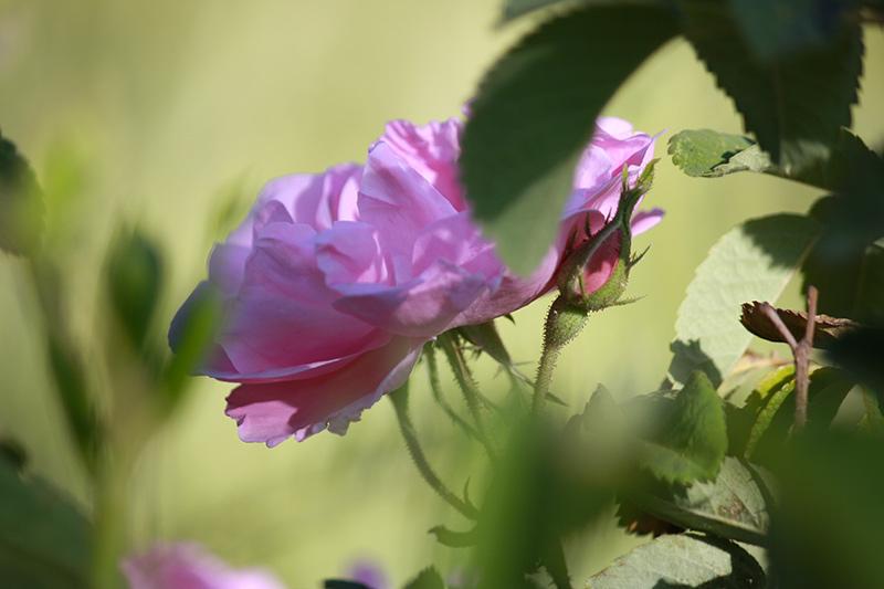 Les 3 bienfaits de la Rose