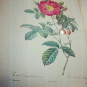 Tout sur la Rose de Damas cultivée au Maroc