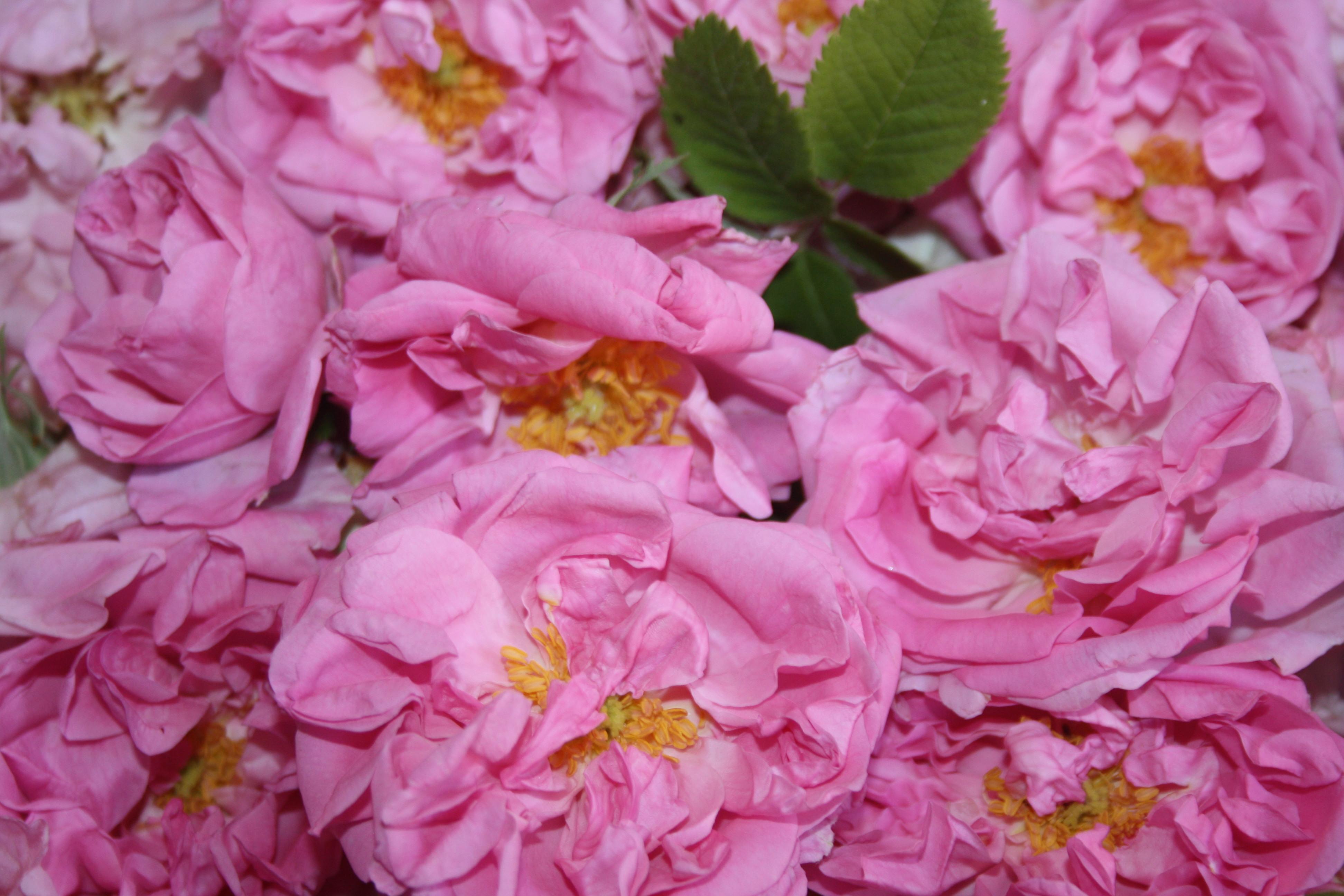 Tout sur la Rose du Maroc