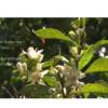 Oranger amer en Fleur de la région de Grasse (sud de la France)